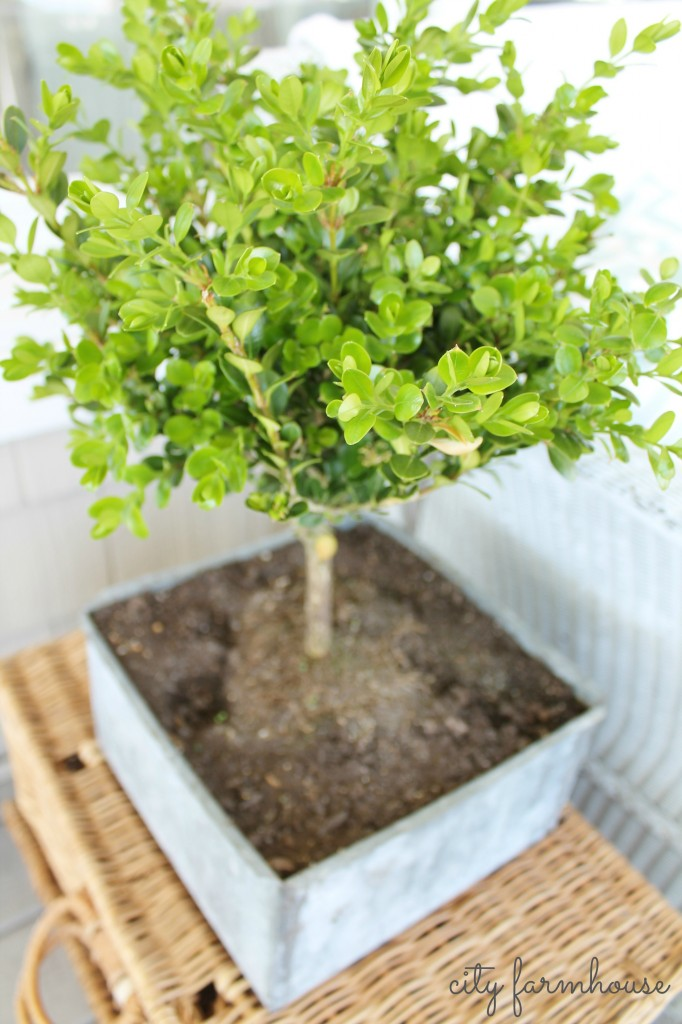 CF boxwood in zinc pot