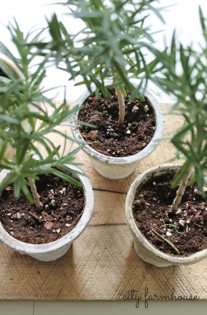 DIY Rosemary Topiaries-City Farmhouse= 2 ways to grow them on your own