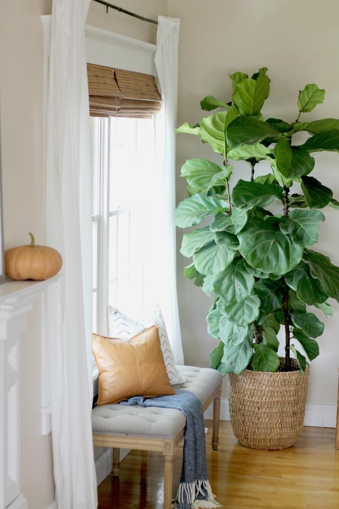 Fiddle Leaf Ficus Plant