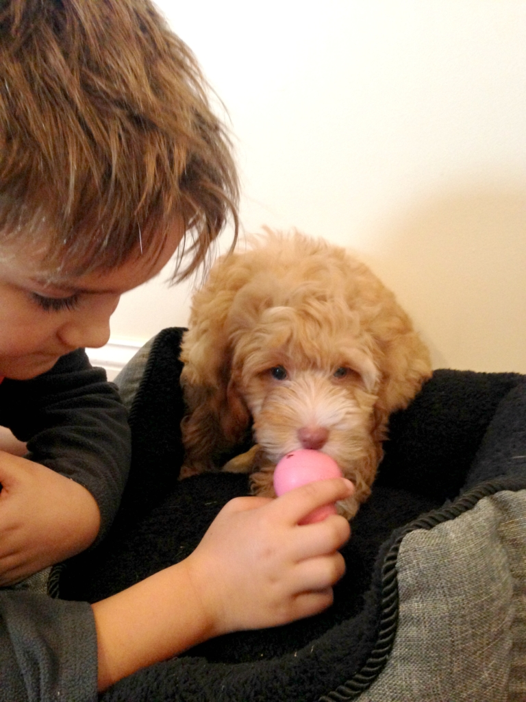 Bringing Home A New Puppy-Cockapoo Denver