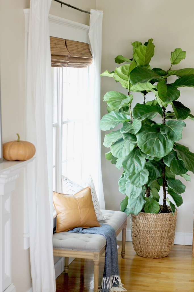 how i saved my fig tree by doing 6 simple things - Fiddle Leaf Fig Tree